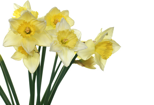 Beautiful spring daffodils bunch against white background.