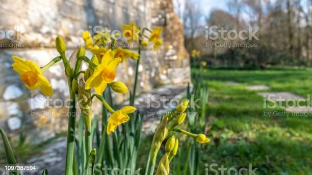 Daffodils by a church in tyneham in dorset picture id1097387594?b=1&k=6&m=1097387594&s=612x612&h=myiregvxu4edk8bbzorzvr6brm7epyrmd vwvbp4noq=