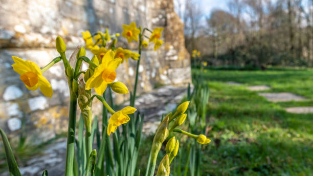 Daffodils by a church in Tyneham in Dorset stock photo