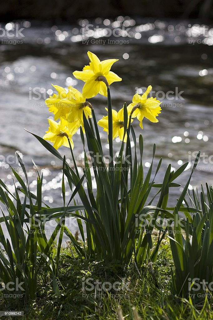 Daffodils by the river stock photo