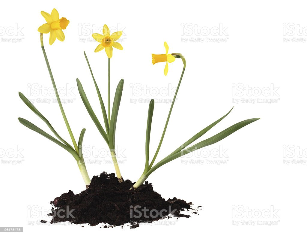 Daffodils cut out on white background royalty-free stock photo