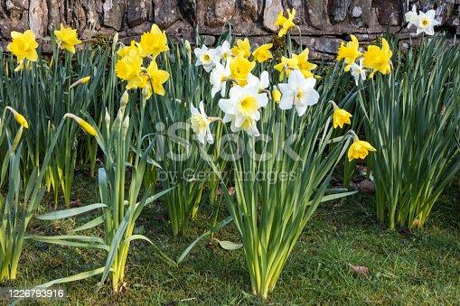 istock Daffodils - English Lake District - England 1226793916