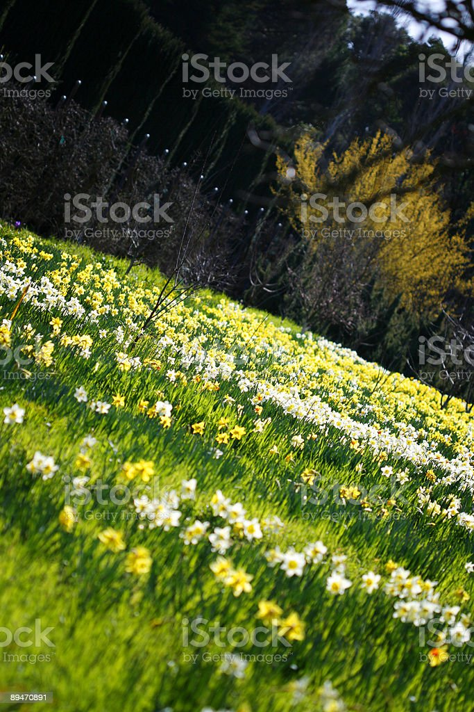 Daffodils field in angle royalty-free stock photo