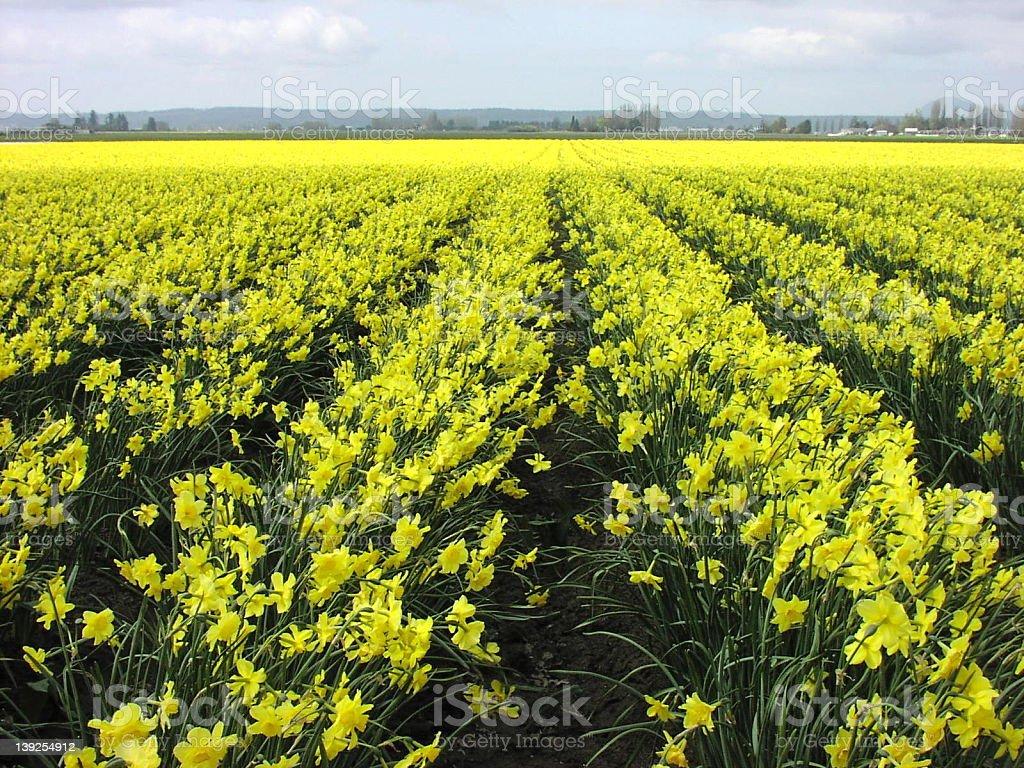 Daffodils field royalty-free stock photo