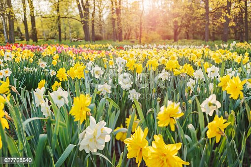 Field of yellow and white double daffodils
