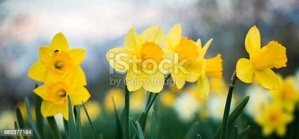 istock Daffodils field 665377164