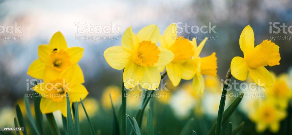 Daffodils field stock photo