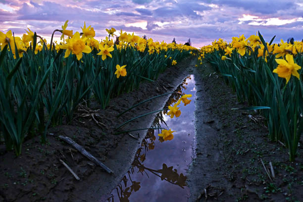 Daffodils fild at sunset and reflection in water. stock photo