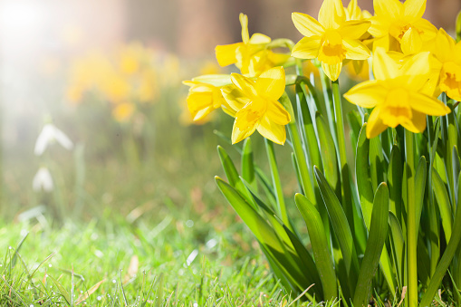 Daffodils growing in a spring garden