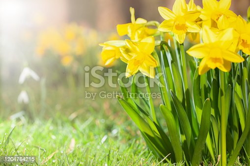 Spring daffodils in a flower garden with copy space.