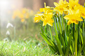 istock Daffodils growing in a spring garden 1204764215