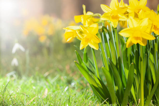 Daffodils growing in a spring garden Spring daffodils in a flower garden with copy space. springtime stock pictures, royalty-free photos & images