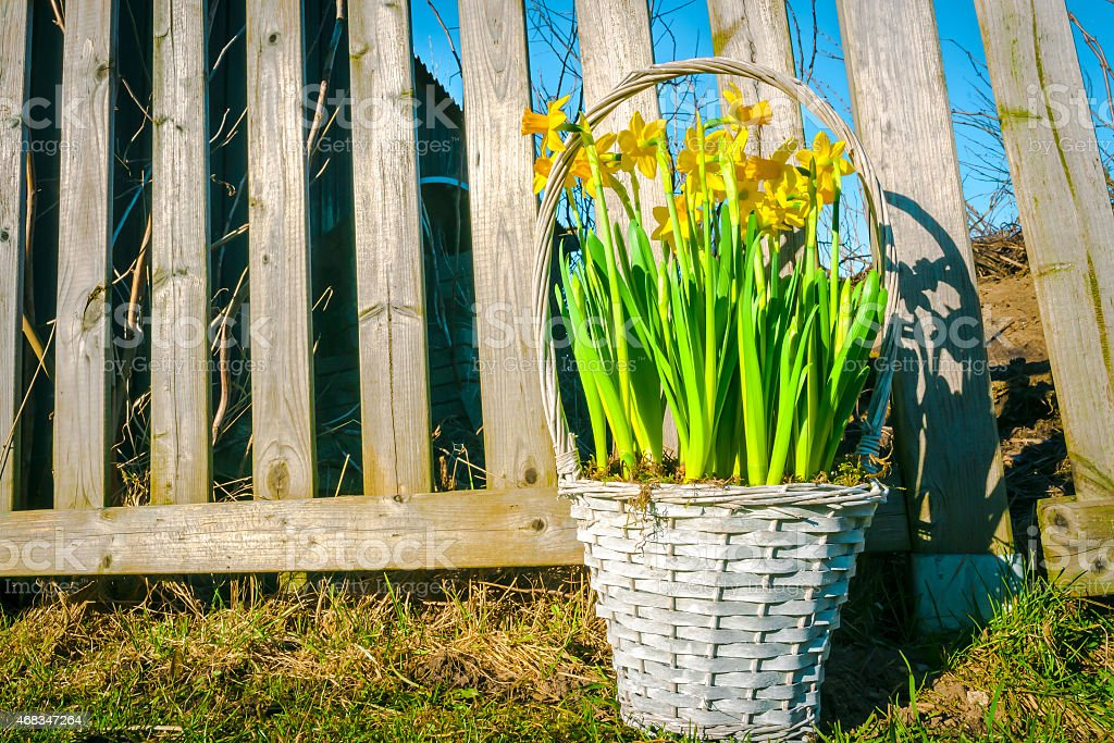 Daffodils in a braided basket royalty-free stock photo