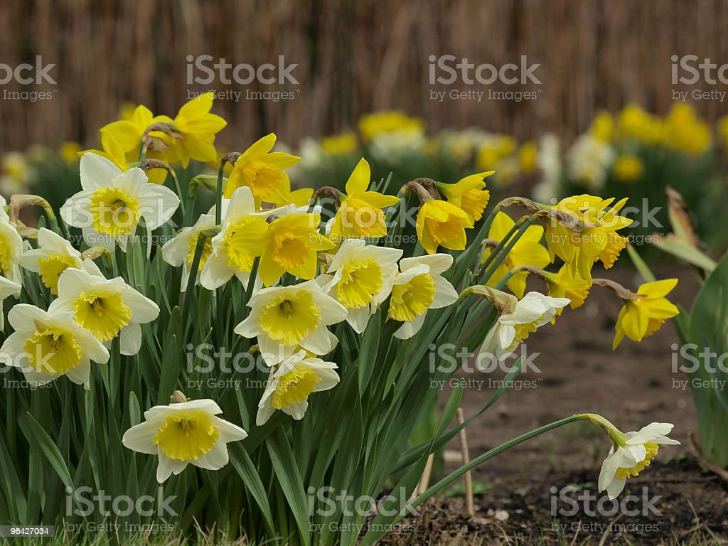 Daffodils in un giardino foto stock royalty-free