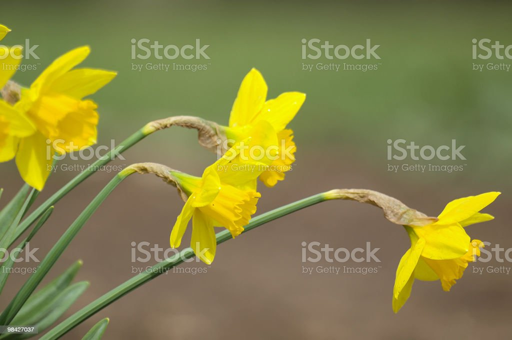 Daffodils in a Garden royalty-free stock photo