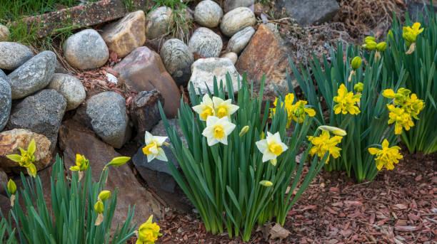 Daffodils in a rock garden stock photo