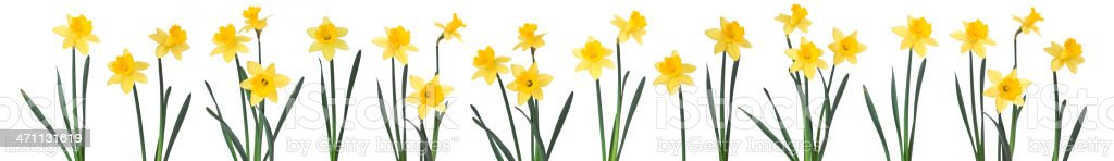 Daffodils in a row. stock photo