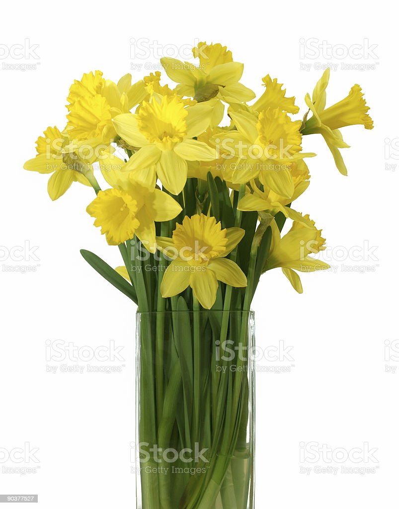 Daffodils in a vase - isolated royalty-free stock photo