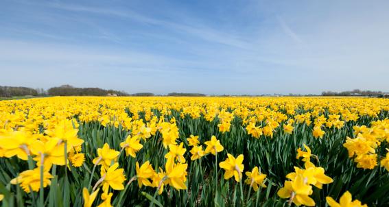 daffodils in flower field