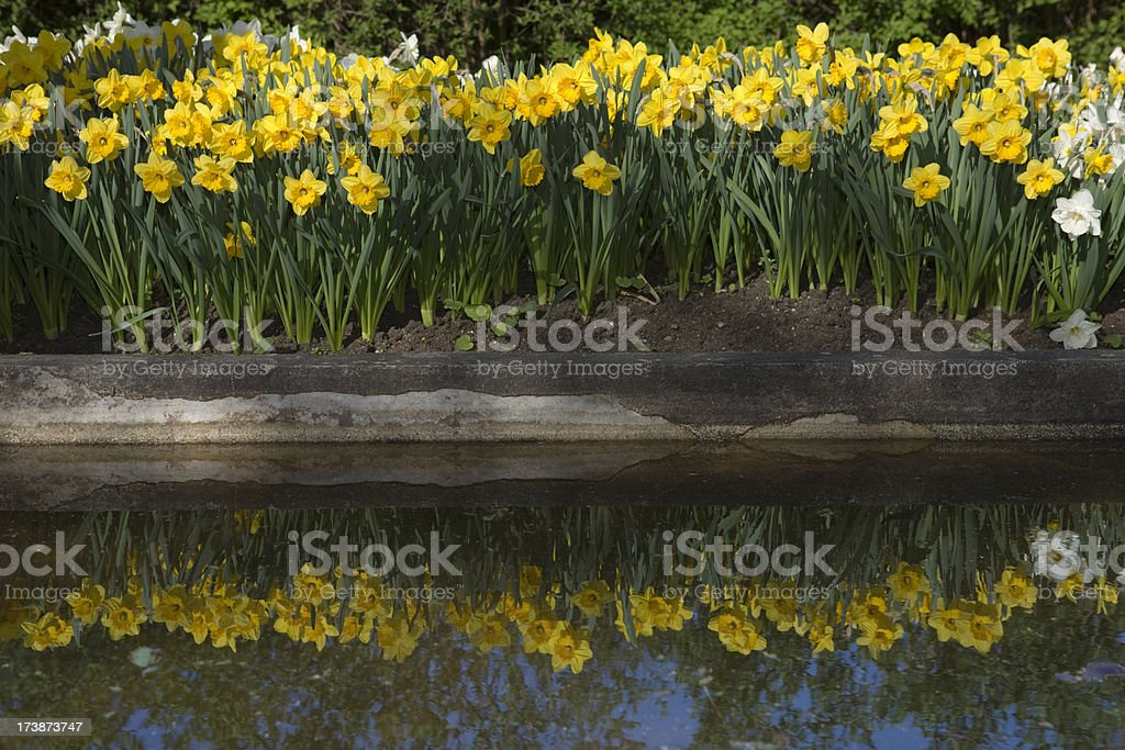 Daffodils in flowerbed royalty-free stock photo