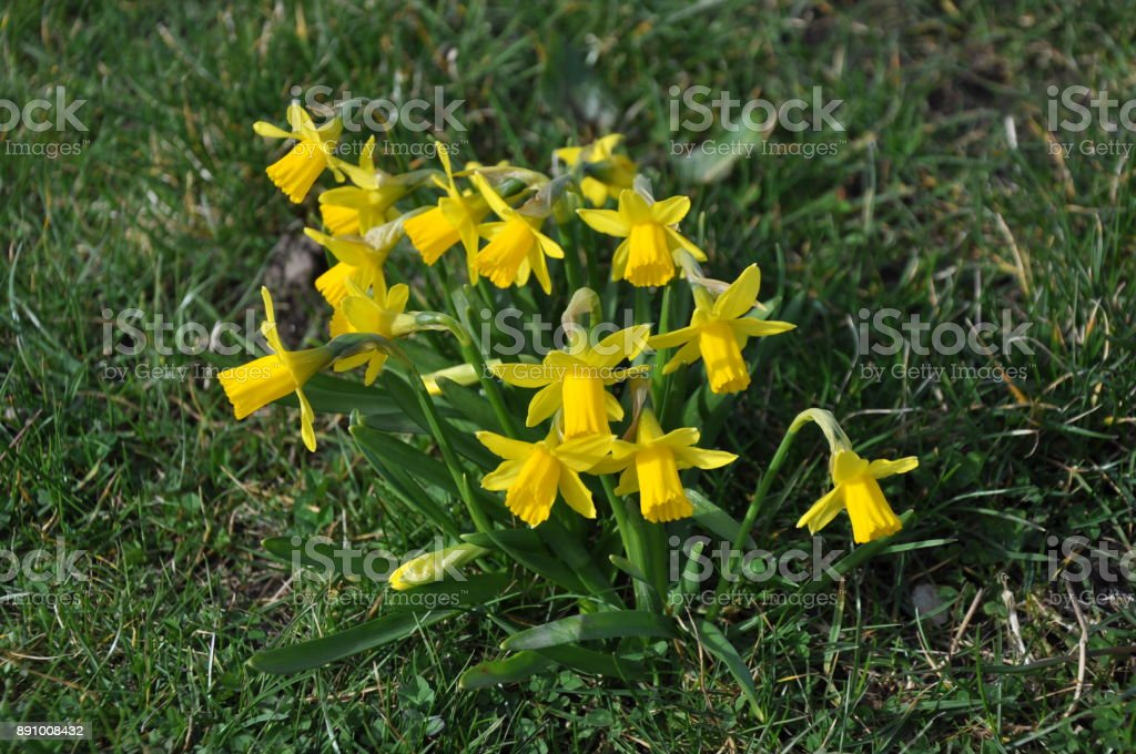 Daffodils in full bloom in a field stock photo