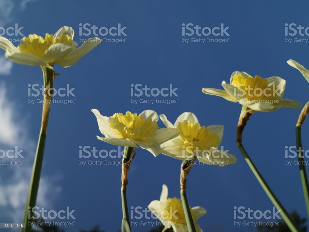Daffodils in full bloom in front of a blue sky foto stock royalty-free