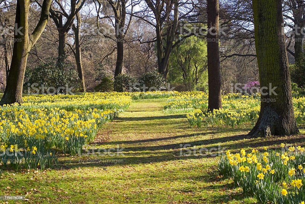 Daffodils in Hagley Park, Christchurch, New Zealand royalty-free stock photo