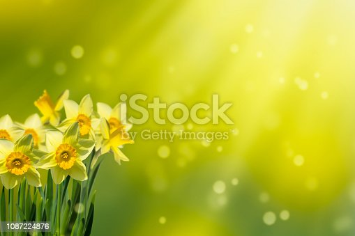 639245704 istock photo daffodils in idyllic abstract springtime 1087224876
