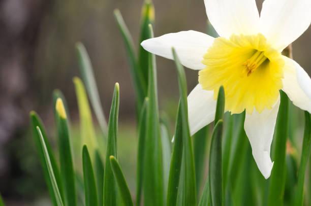 Daffodils in springtime stock photo
