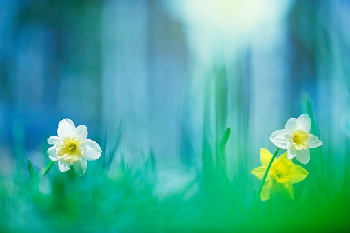 Daffodils in the meadow