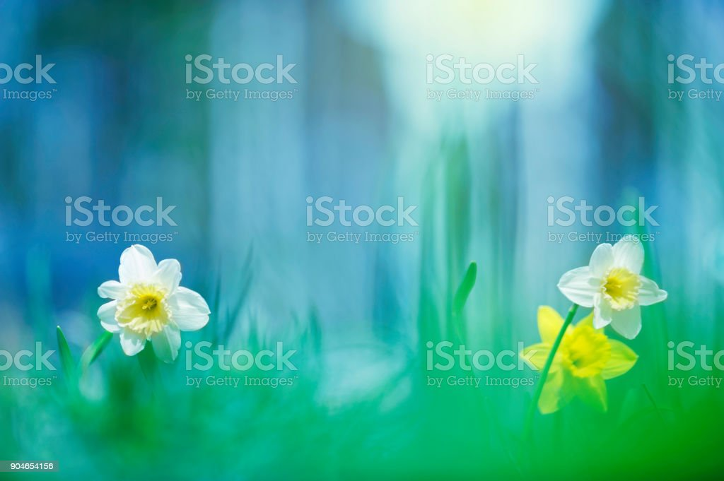 Daffodils in the meadow stock photo
