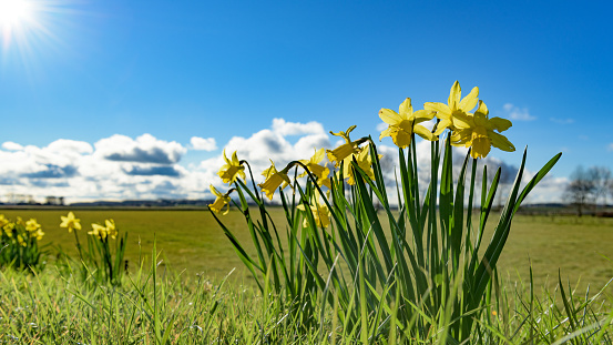 Daffodils in the sun with clouds and blue sky