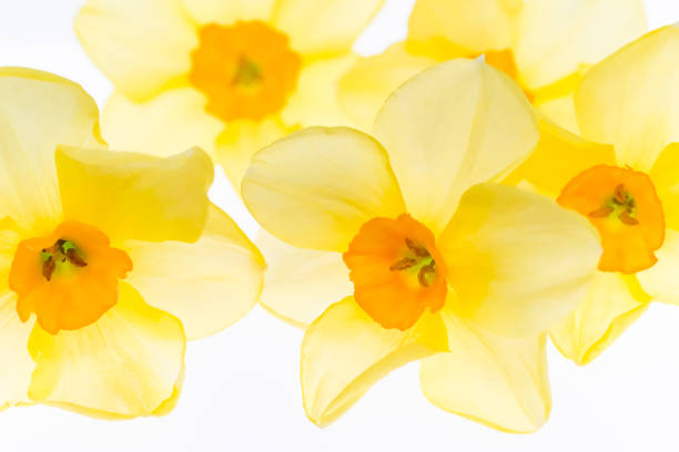Daffodils isolated on the white background. Floral background treated as watercolor stock photo