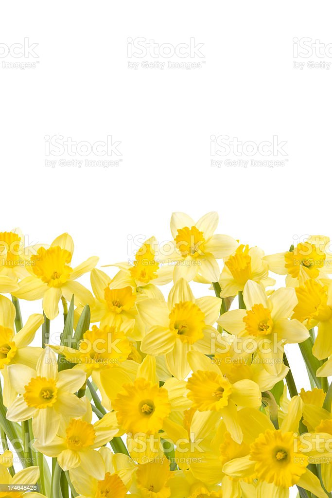 Daffodils Isolated on White royalty-free stock photo