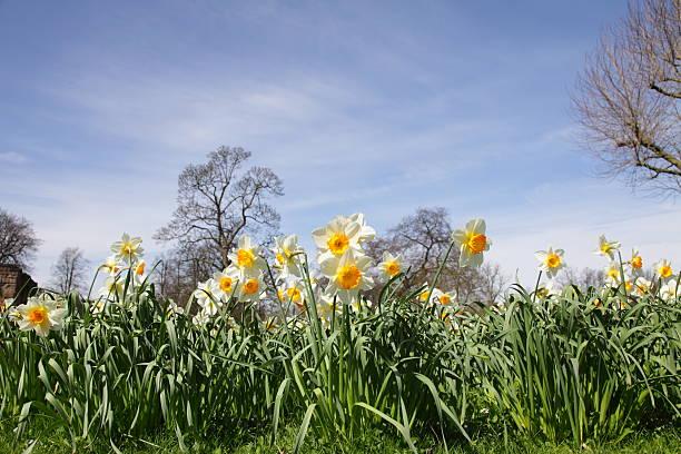 Daffodils, Narcissus stock photo