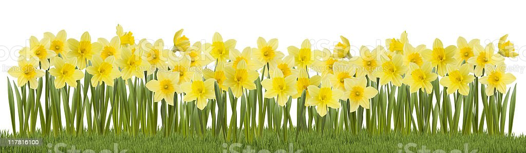 Daffodils on Grass stock photo