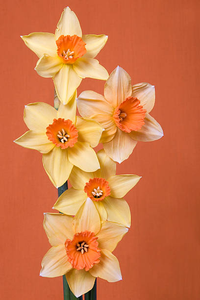 daffodils on orange - spring stock photos and pictures