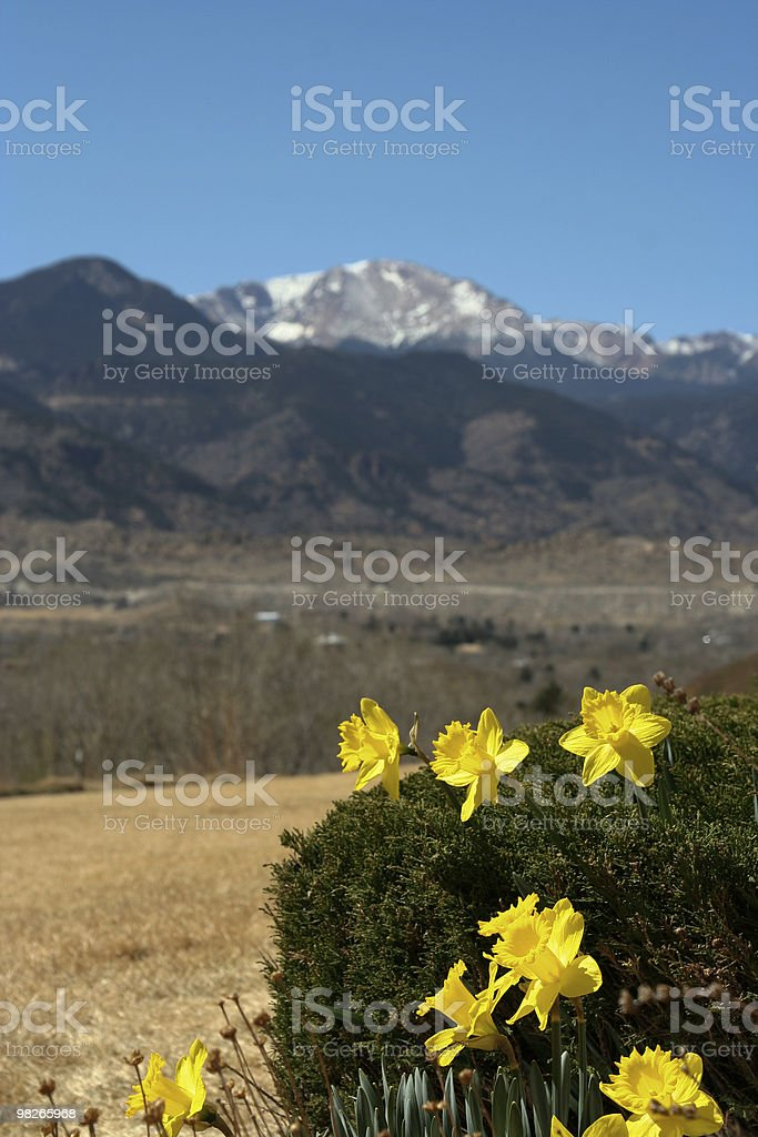 Daffodils on Pikes Peak background royalty-free stock photo