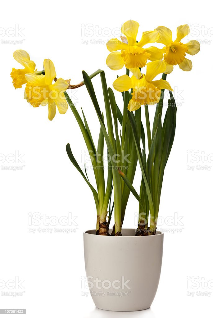 Daffodils on white background royalty-free stock photo