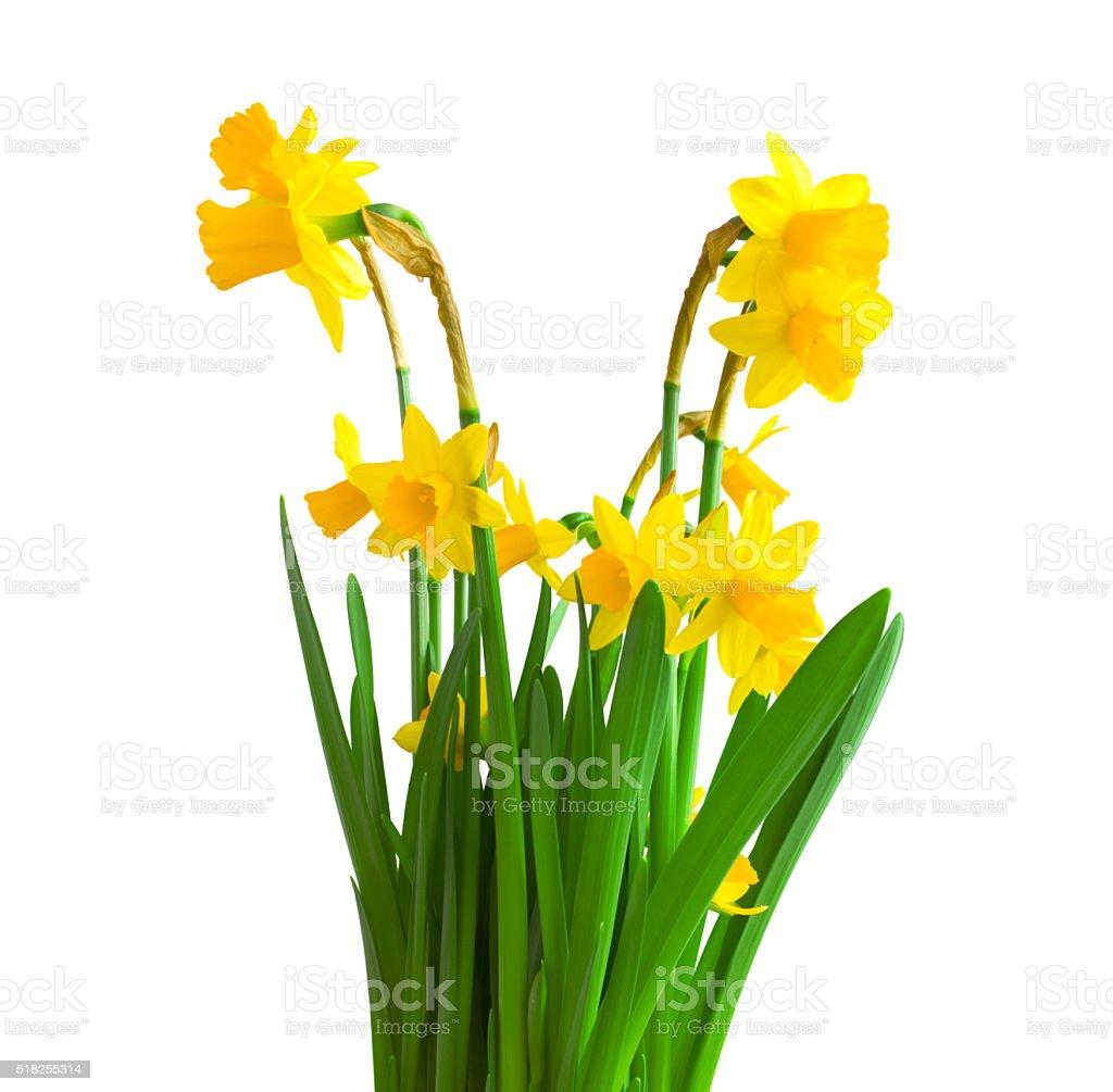 Daffodils on white background. stock photo