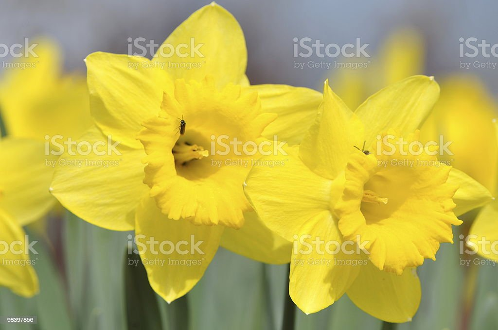 Daffodils open the springtime royalty-free stock photo