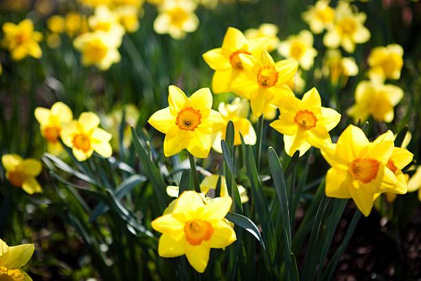 daffodils - fresh start yellow stockfoto's en -beelden