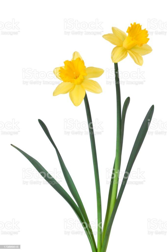 Daffodils royalty-free stock photo