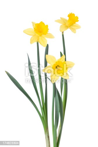 Daffodils on white.PLEASE CLICK ON THE IMAGE BELOW TO SEE MY EASTER PORTFOLIO: