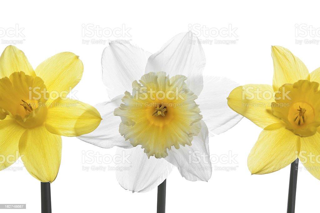 Daffodils stock photo
