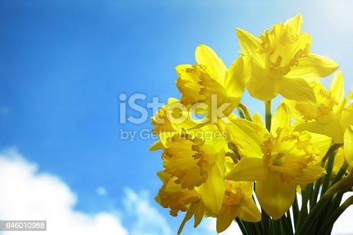 istock Daffodils 646010988
