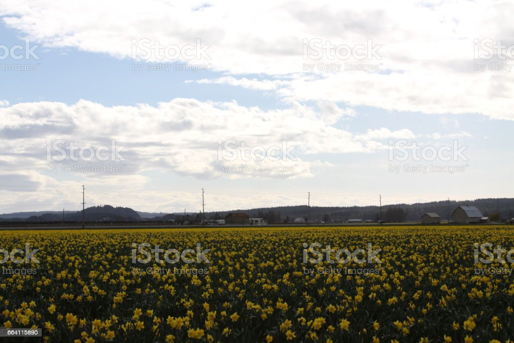 Daffodils foto stock royalty-free