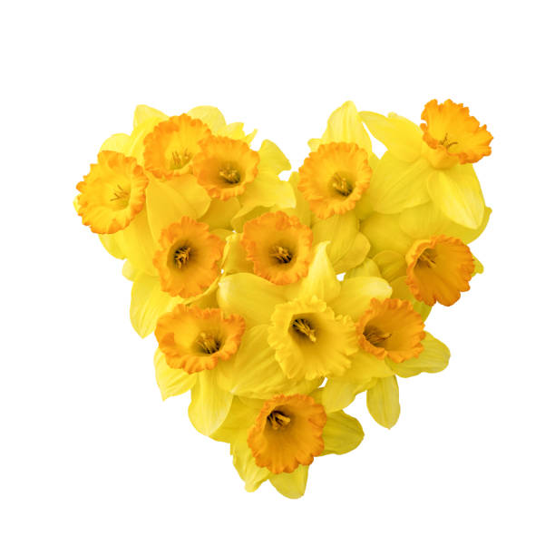 """Daffodils shaped as heart  isolated on the white background""""n stock photo"""