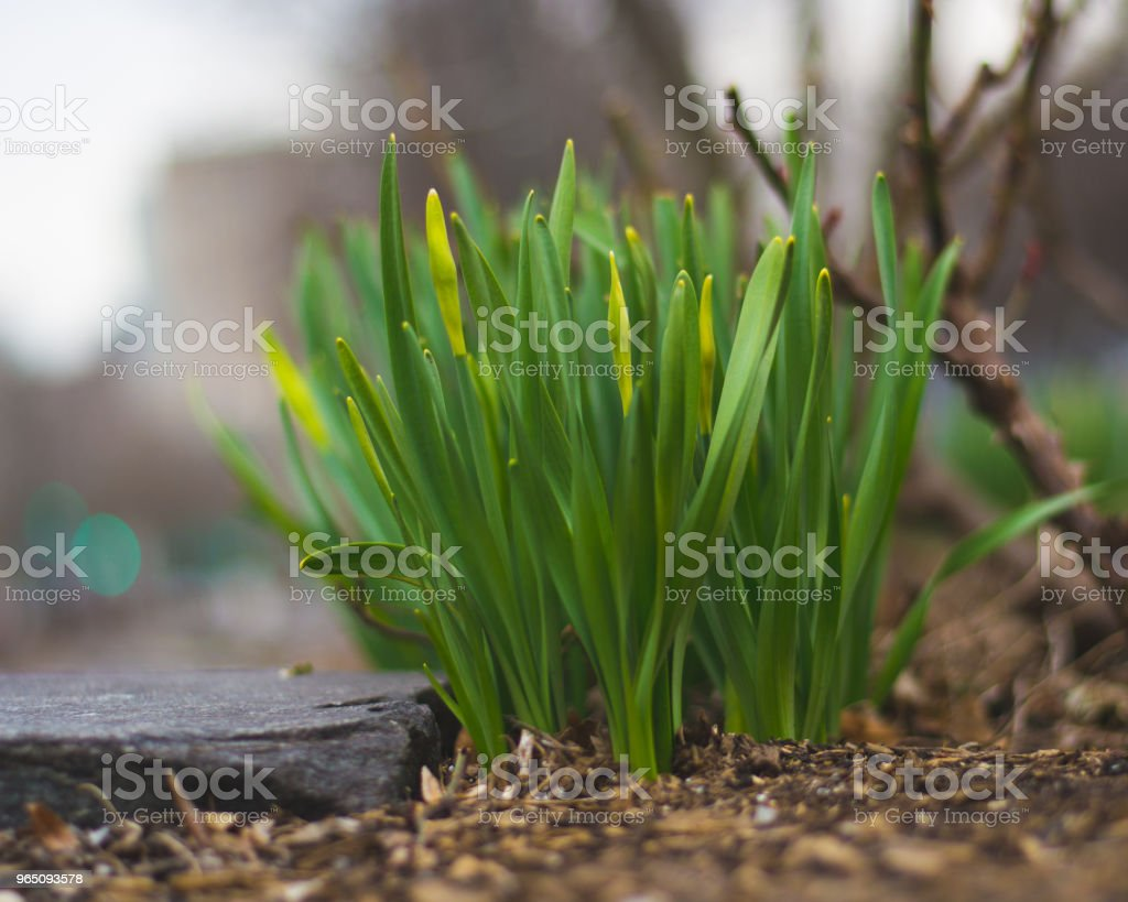 Daffodils sprouting royalty-free stock photo