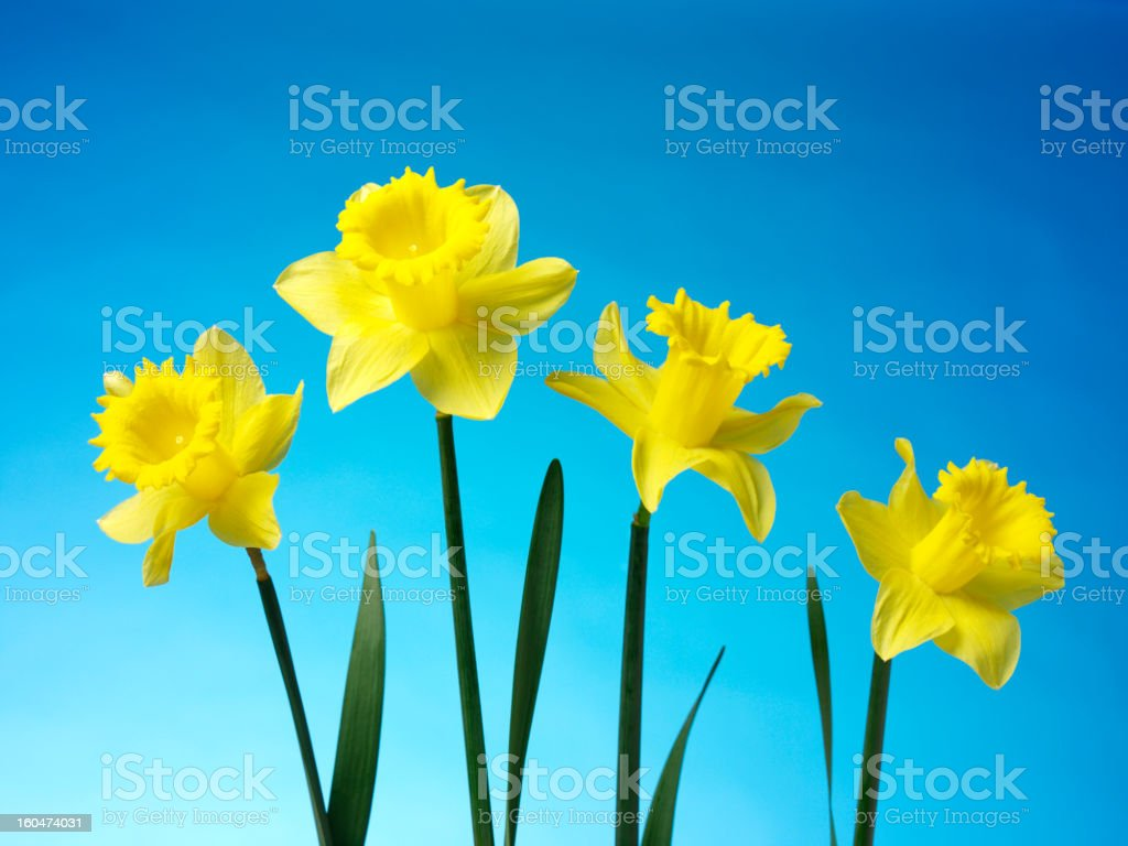 Daffodils the Freshness of Spring royalty-free stock photo